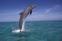 Bottlenose dolphin (Tursiops truncatus) von Danita Delimont