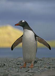 Gentoo penguin just out of water with water and sun-lit mountain behind him von Danita Delimont