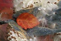 Autumn Leaf in Milkweed by Danita Delimont