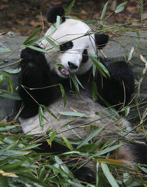 Giant pandas at the Giant Panda Protection & Research Center near Chengdu China by Danita Delimont