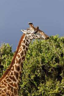 Maasai Giraffe (Giraffe Tippelskirchi) as seen in the Masai Mara von Danita Delimont