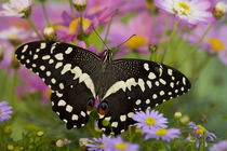 Washington Tropical Butterfly Photograph of Papilio demodocus the Orchard Swallowtail from Africa von Danita Delimont