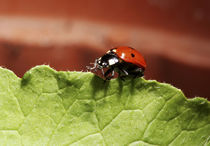 Ladybug on lettuce leaf (MR) by Danita Delimont