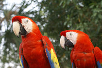 SCARLET MACAWS Mexico by John Mitchell
