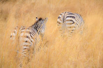 zebra in the wilderness 18 by Leandro Bistolfi