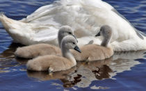 Three little Signets by Karen Brodie