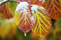 Winter leaf von Katia Boitsova-Hošek
