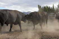 Bulls Fighting von Geoff Bryant