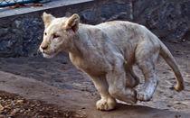 White Lion Running von David Freeman
