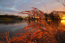 reed in the sun von Stefan Bruett
