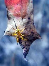 Yellow Wasp 2 von Warren Thompson