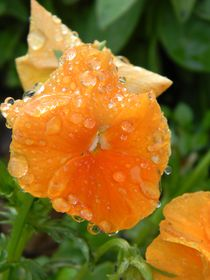 Raindrops on a Salmon Pansy von Warren Thompson