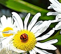 Daisy and Ladybug by Patricia N
