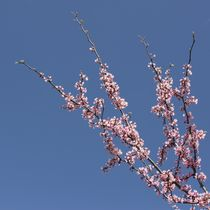Zen-cherry-blossom