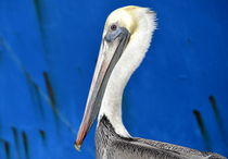 Pelican On Blue by Fraida Gutovich