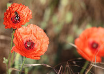 Mohn by Falko Follert