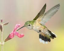 Female Broadtailed Hummingbird by Gregory Scott