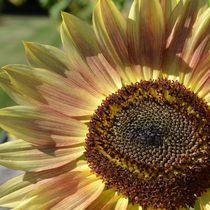 Peach Sunflower by Patricia N