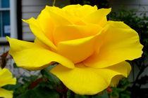 Rosenblüte von Philipp Meier