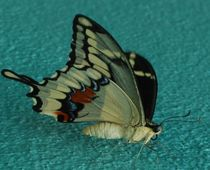 Swallow-tail-butterfly