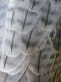 Barbary Falcon Feathers by Lainie Wrightson
