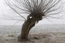 Kopfweiden bei Frost und Nebel 24 by Karina Baumgart