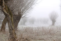 Kopfweiden bei Frost und Nebel 21 by Karina Baumgart