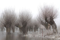 Kopfweiden bei Frost und Nebel 09 by Karina Baumgart