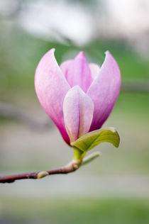 Magnolia by Victoria Savostianova