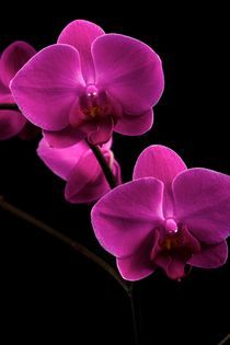 Orchidea  by Peter Zvonar