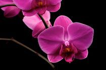 Orchidea Phalaenopsis by Peter Zvonar
