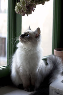 Little siberian kitty by Raffaella Lunelli