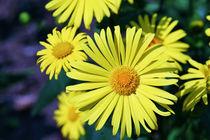 Beautiful yellow flowers by Levente Bodo