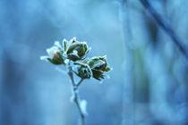 Frozen roses by Levente Bodo