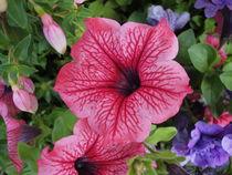 Petunia by Eugen Bill