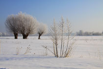 Kopfweiden im Winterkleid 12 by Karina Baumgart