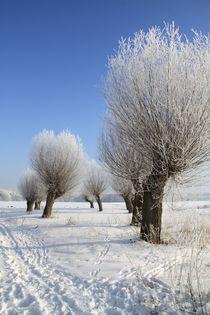 Kopfweiden im Winterkleid 09 by Karina Baumgart