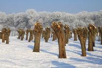 Kopfweiden im Winterkleid 04 by Karina Baumgart
