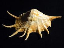 Giant Spider Conch Seashell Lambis truncata von Frank Wilson