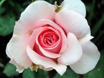 Rosa Rosentraum by Eugen Bill