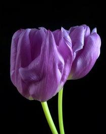 Lila Tulpen by Kerstin Runge