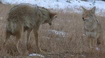 Alpha coyote von martin Goldman