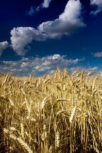 Wheat field by Peter Zvonar