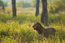 Male Lion in the high grass by Johan Elzenga