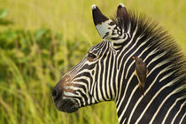 Zebra and oxpecker by Johan Elzenga