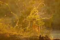 Impala in the morning light by Johan Elzenga