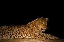 Leopard at night by Johan Elzenga