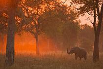 Elephant at sunset by Johan Elzenga