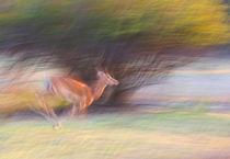 Running impala by Johan Elzenga