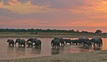 Elephants crossing a river at dusk by Johan Elzenga